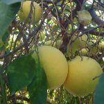 grapefruit, májtisztító turmix